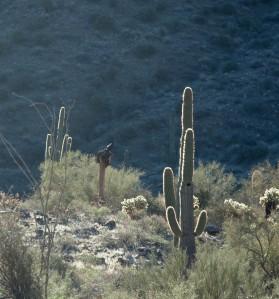 McDowell Bird on Cactus