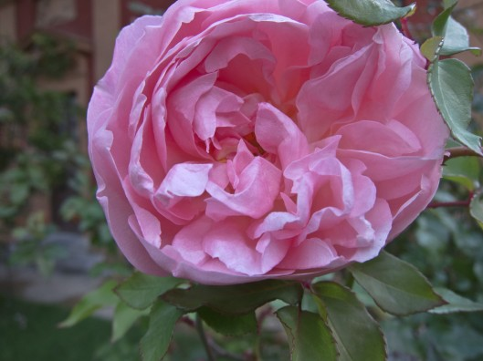 karen carpenter rose