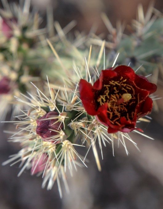 organ pipe cactus a bloom