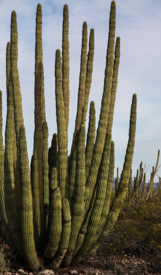 organ pipe cactus again