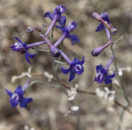 organ pipe purple flower