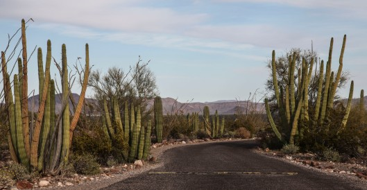 organ pipe road with organ pipe cacti