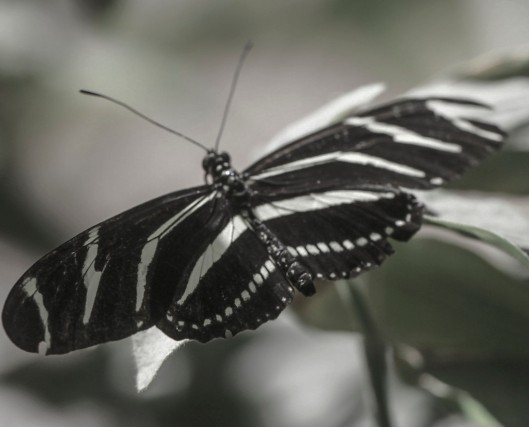 black and white of bw butterfly