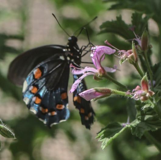 black blue butterfly on lavender flower