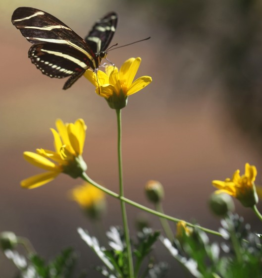 butterfly striped best photo on yellow flower