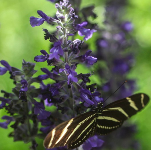 butterfly striped on purple flower_1;