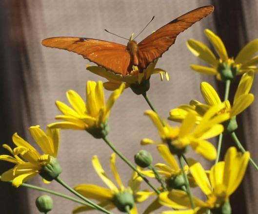one butterflies orange recropped