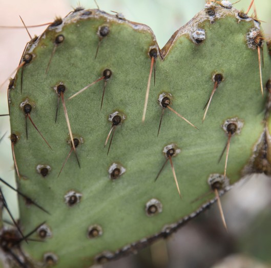 organ pipe cactus love park