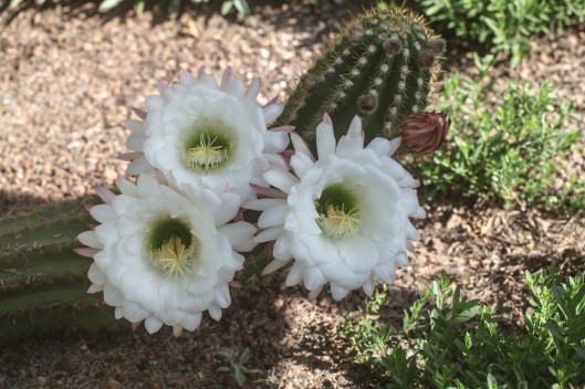 three blooms on one cactus