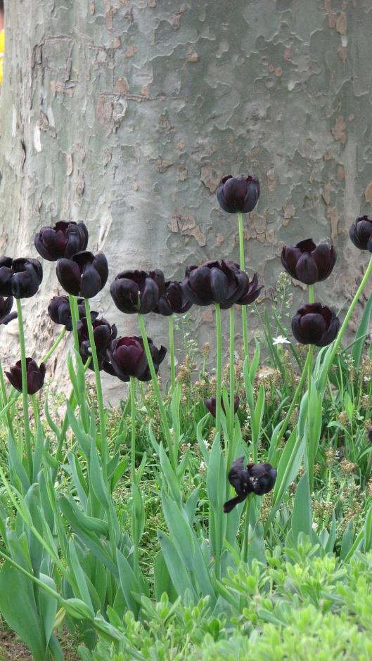 black tulips istanbul