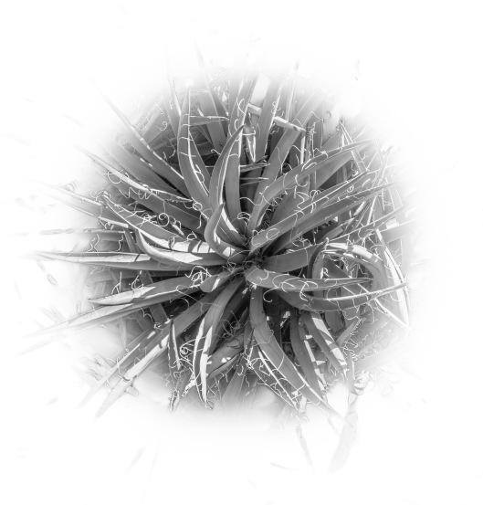 cactus round