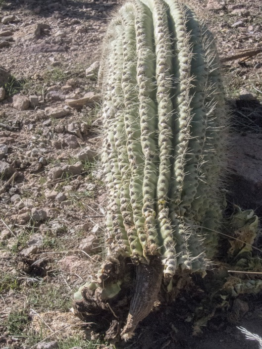 a fallen arm of the might saguaro