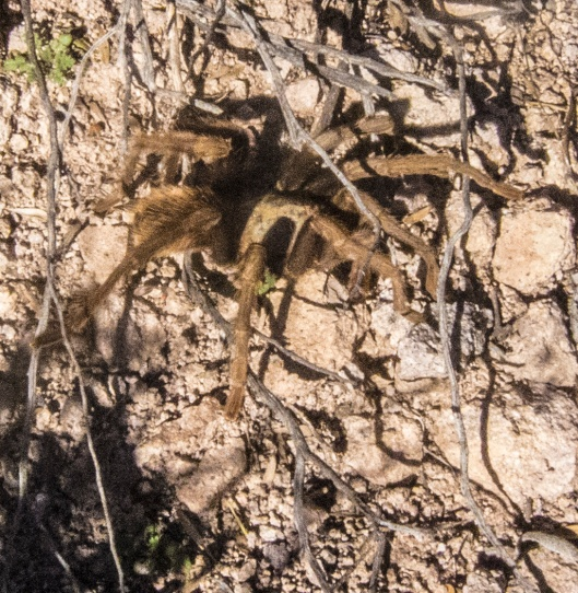 tarantula on trail