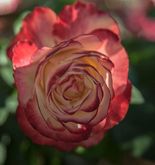 a rose garden multi reds