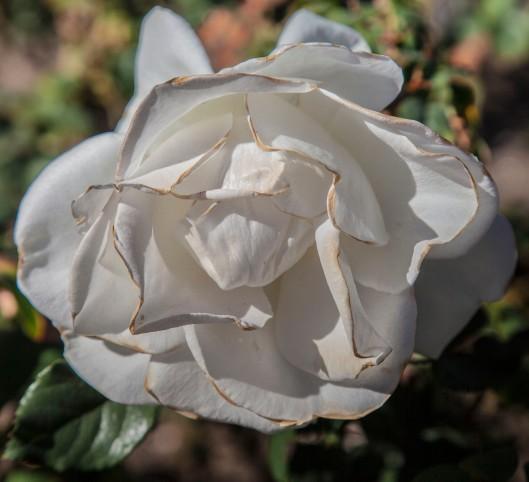 a rose garden white