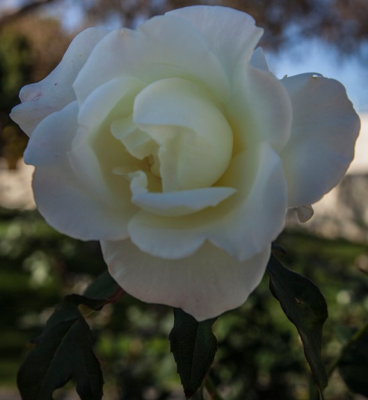 a white rose 2