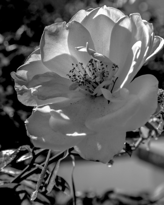 rose garden black white