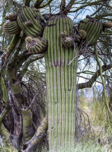 cacti many formations