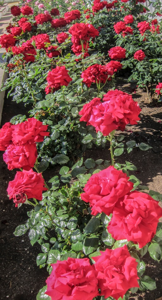 lots of red roses