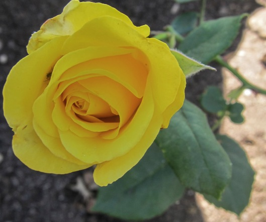 yellow rose2