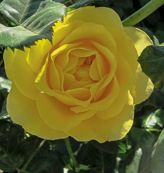 yellow rose3