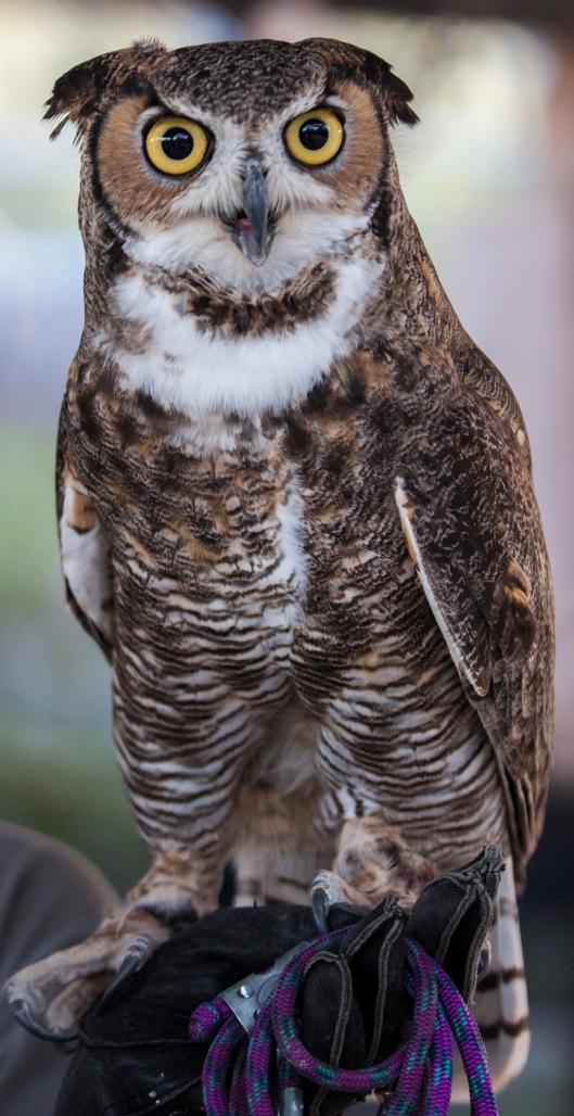 great horned owl3best