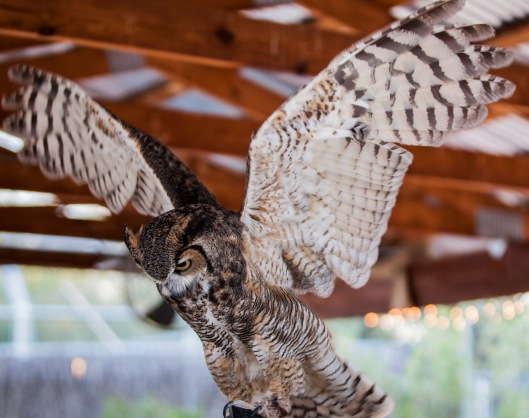 great horned wing span1