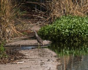 los rios brown bird