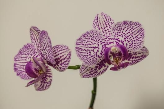 phalaenopsis orchid3 goodplus