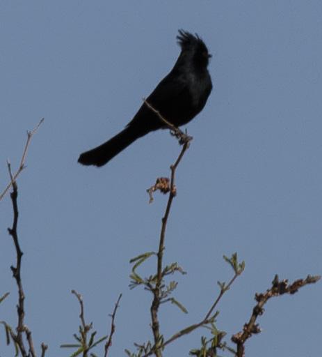 black robin3