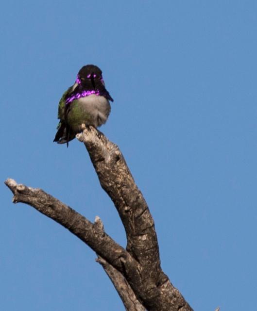 humingbird1