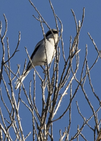 bird pandera1
