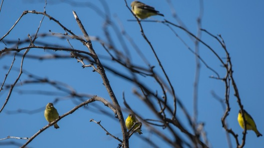 finches in tree1