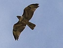 hawk in sky tubac4