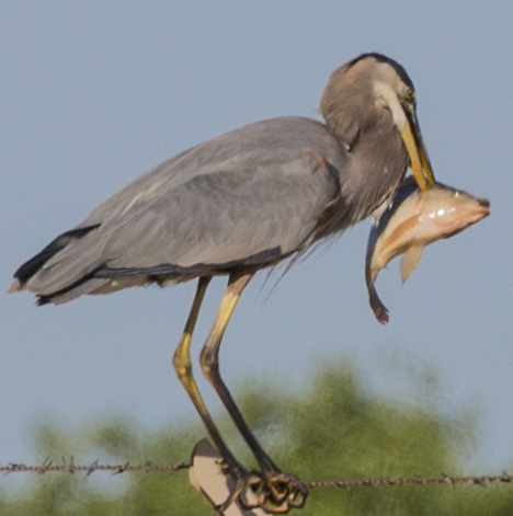 heron with fish5