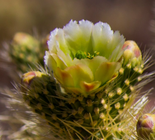 jumping cactus flower macro
