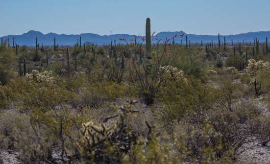 ocotillo3 mtn in background