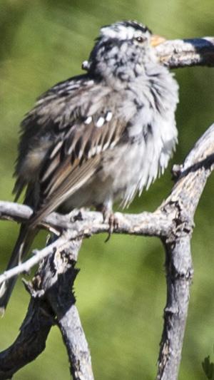 puffy bird orange beak