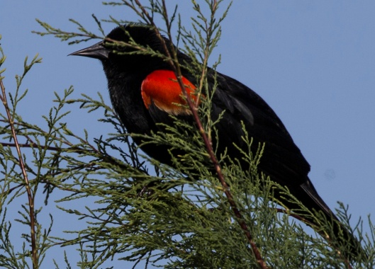 red wing blackbird in tree