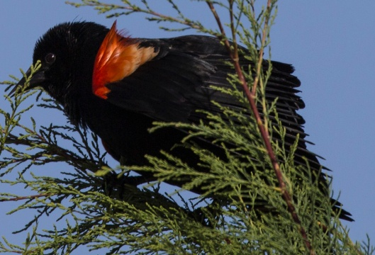 red wing blackbird in tree2