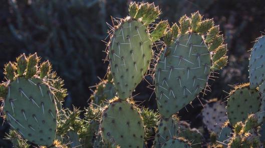 sunlit cacti
