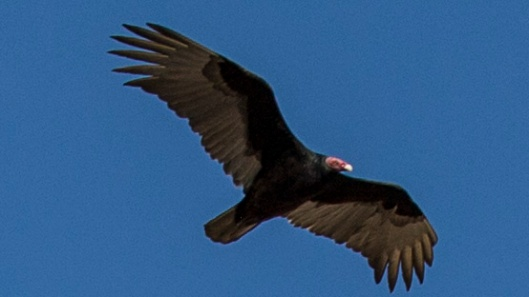 turkey vulture2