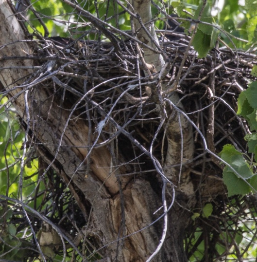 hawk nest1