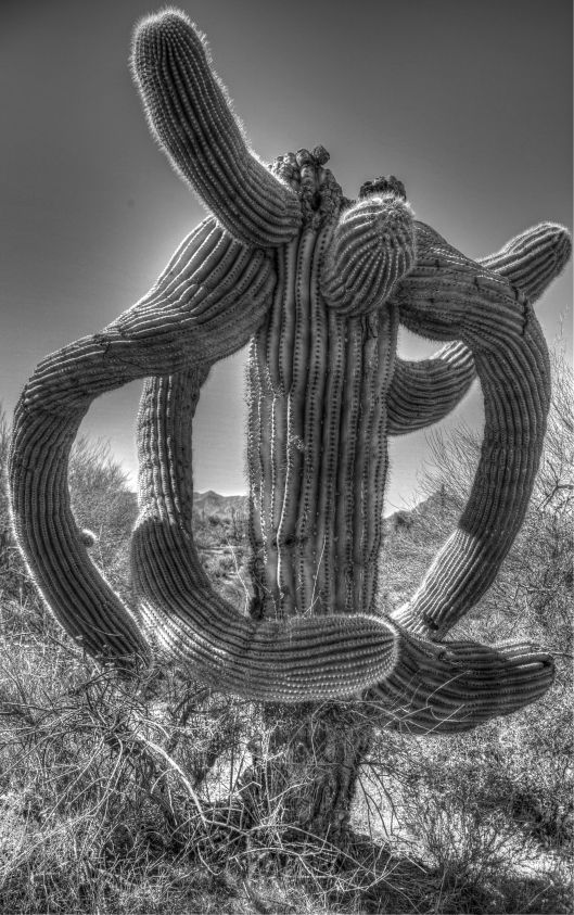 snarly cactus1_2_3_B&W Artistic