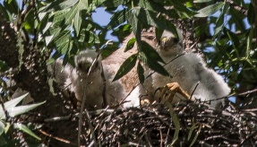 Coopers Hawk Fledglings (three in the nest and mom in the background)