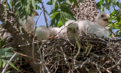 Coopers Hawk fledglings (three in the nest)