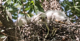 Three Coopers Hawk fledglings in the nest