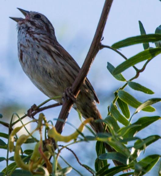 singing bird1