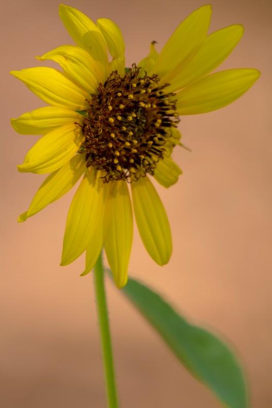 sunflower not perfect
