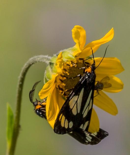 butterflies flower2 hart prairie
